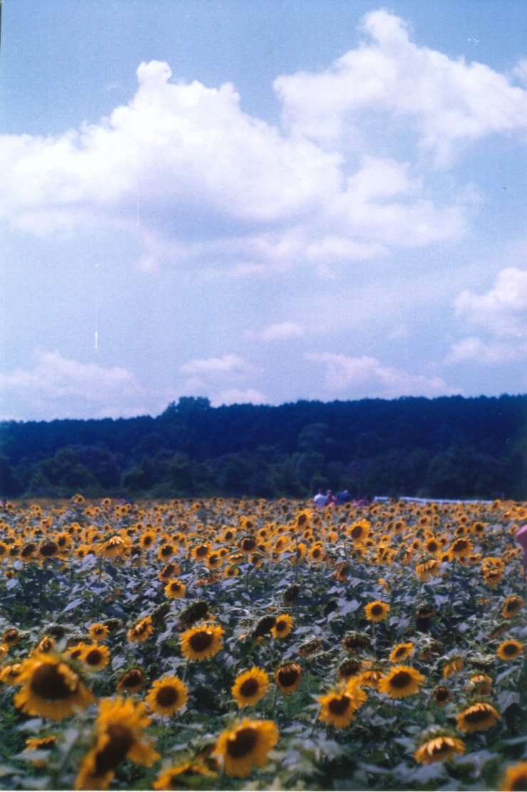 sunflowers raleigh