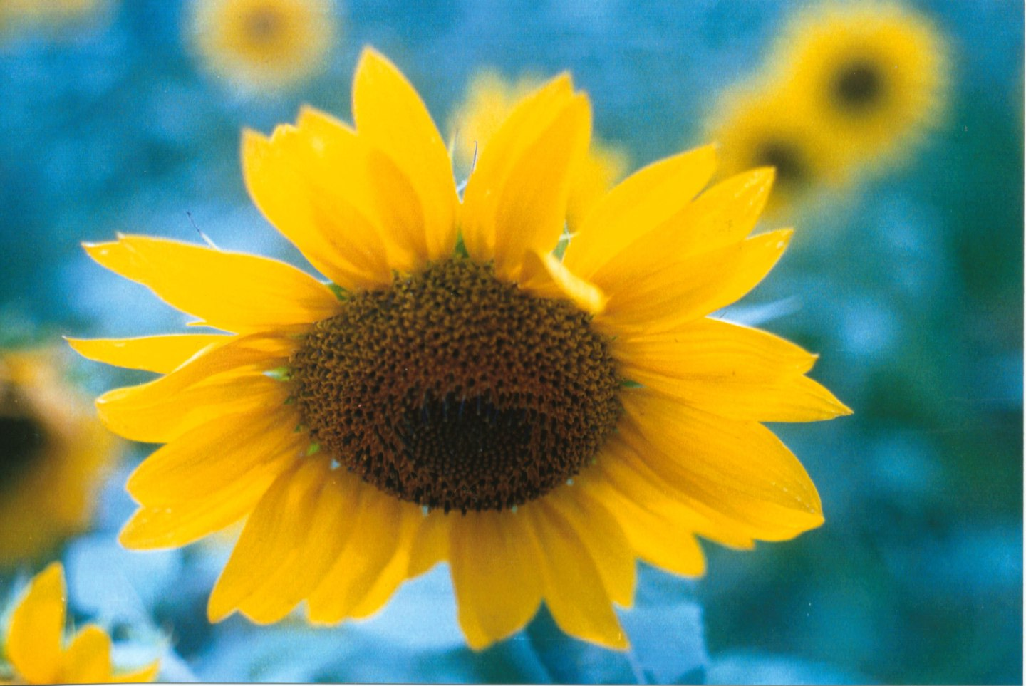 sunflowers film