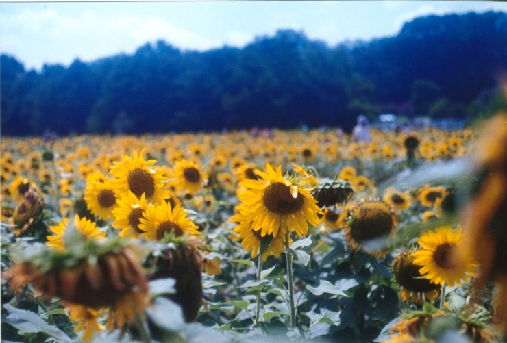 sunflowers raleigh